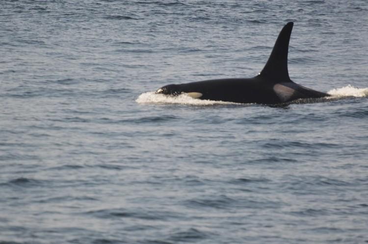 Whale Watching in the San Juan Islands // Travel Daze