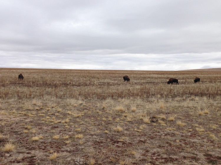 bison grazing in an empty field