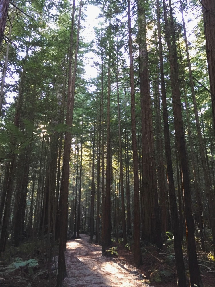 Explore New Zealand's very own redwood forest